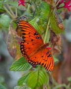 25th Sep 2017 - Gulf fritillary butterfly