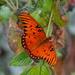 Gulf fritillary butterfly by congaree