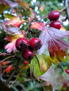 25th Sep 2017 - Hawthorn berries...