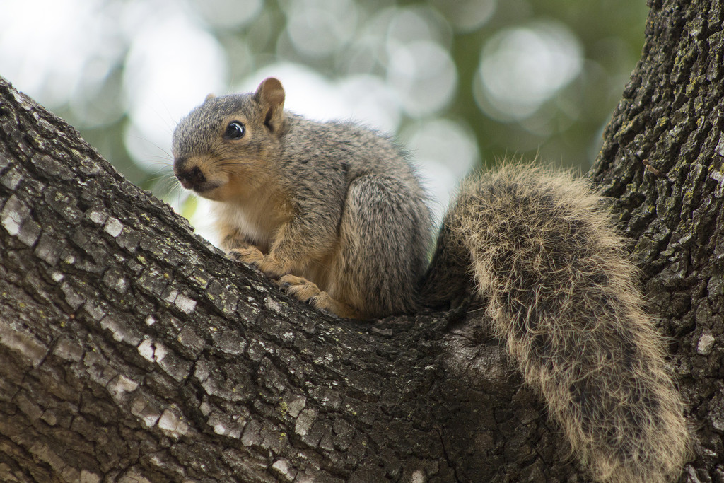 Young Squirrel by gaylewood