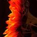 Orange by novab