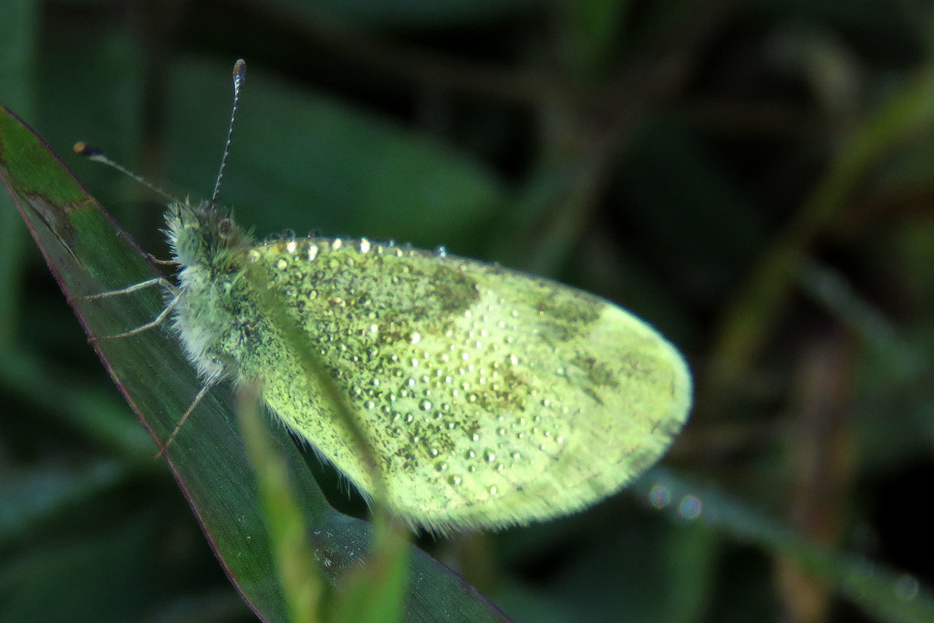 Dainty Sulphur with Dainty Dewdrops by milaniet