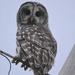 Barred Owl  by kareenking