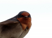 26th Sep 2017 - Welcome swallow