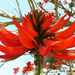 Coral Tree Flower by onewing