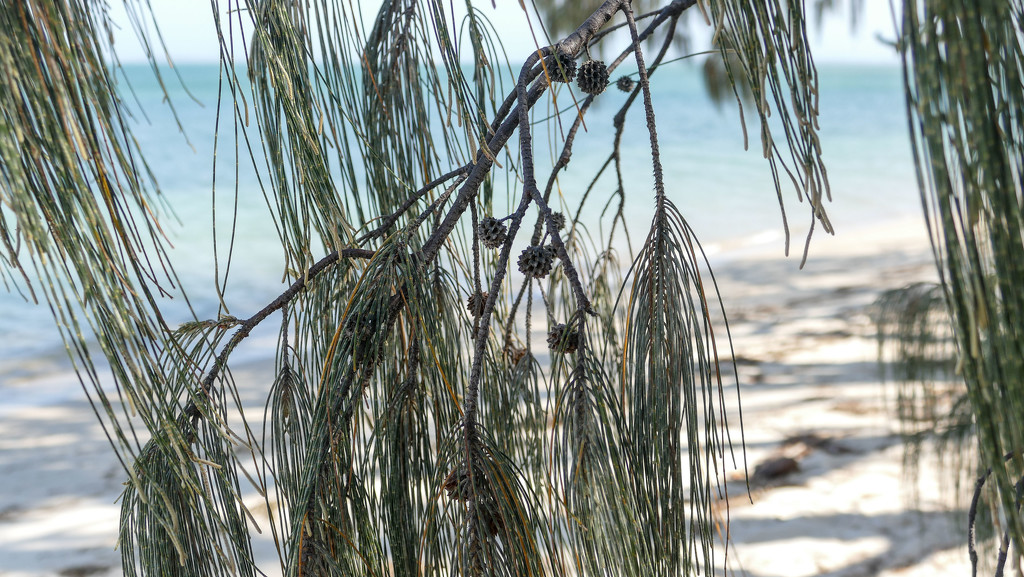 Casuarina seed pods by hrs