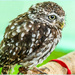 Little Owl by carolmw