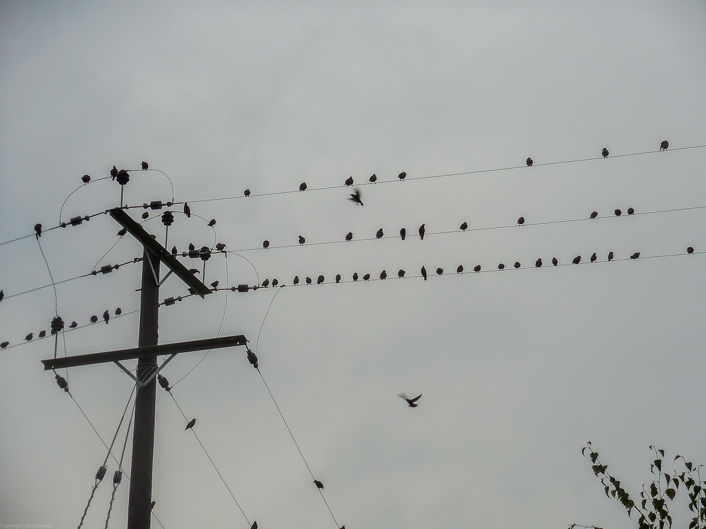 Starlings as a crowd by jon_lip