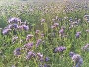 25th Sep 2017 - Ocean of purple flowers.