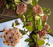 28th Sep 2017 - My Hoya in full bloom at the moment