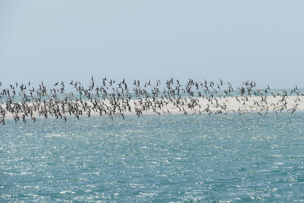 Waders in flight by hrs