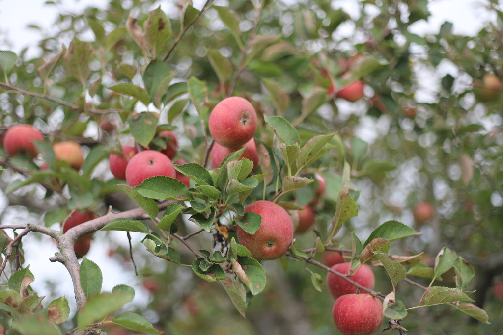 IMG_0854 - Apple Season by hjbenson