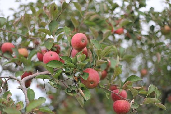 IMG_0854 - Apple Season by hjbenson
