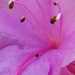 Azalea Macro by onewing