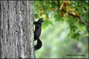 27th Sep 2017 - Black squirrel