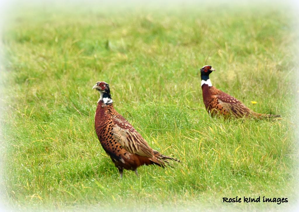A brace of pheasants by rosiekind
