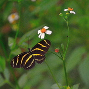 27th Sep 2017 - Zebra Longwing Butterfly