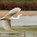 White heron - Great egret - Kotuku (Maori) by maureenpp