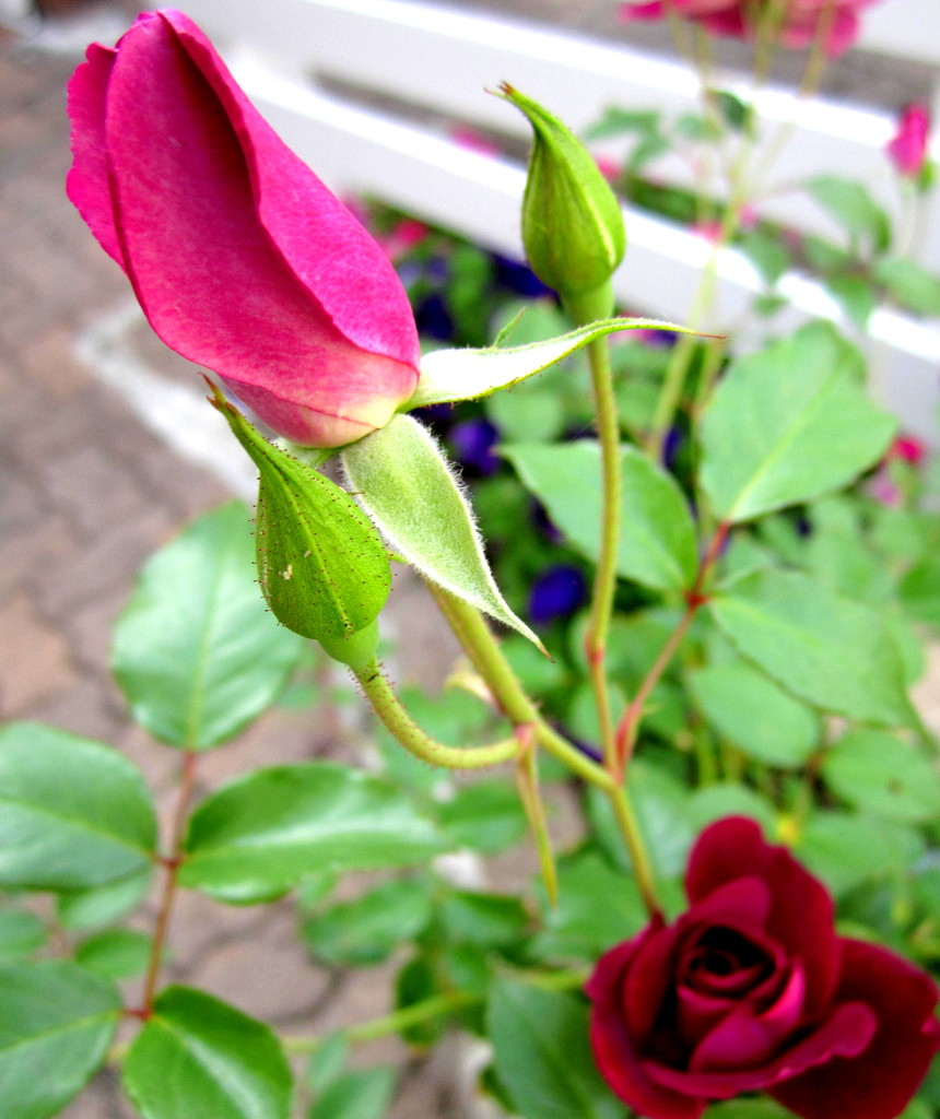 3 different stages of a rose by 777margo