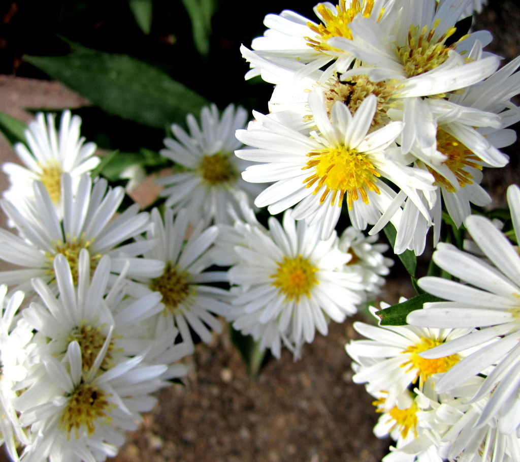 last of the daisies in my garden by 777margo