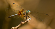 28th Sep 2017 - Dragonfly!