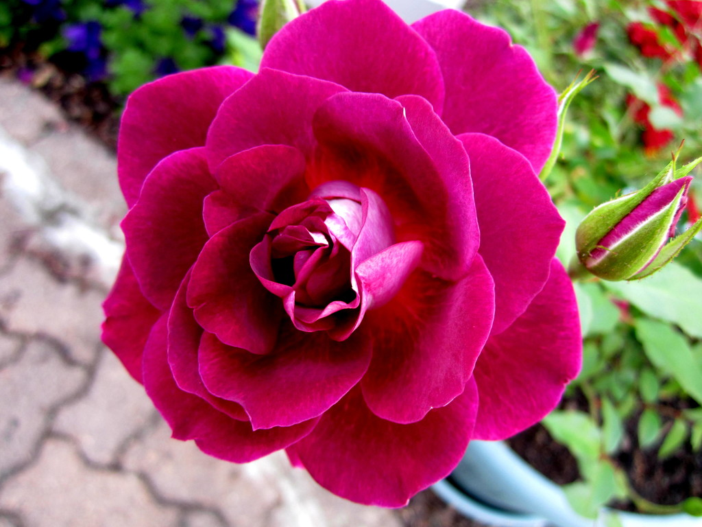 My neighbours  Rose by 777margo