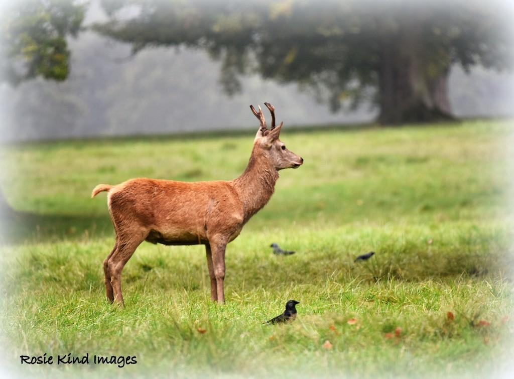 Red deer by rosiekind
