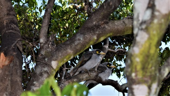 Two Noisy Miner Birds ~ by happysnaps