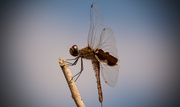 29th Sep 2017 - Another Dragonfly!