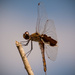 Another Dragonfly! by rickster549