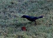 27th Sep 2017 - Starling