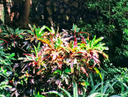 28th Sep 2017 - Beautiful Croton plant