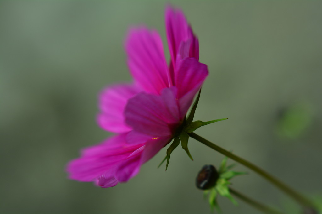 Cosmos with bud...... by ziggy77