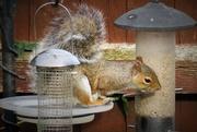 30th Sep 2017 - Pesky Squirrel