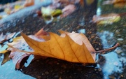 28th Sep 2017 - Leaf in puddle