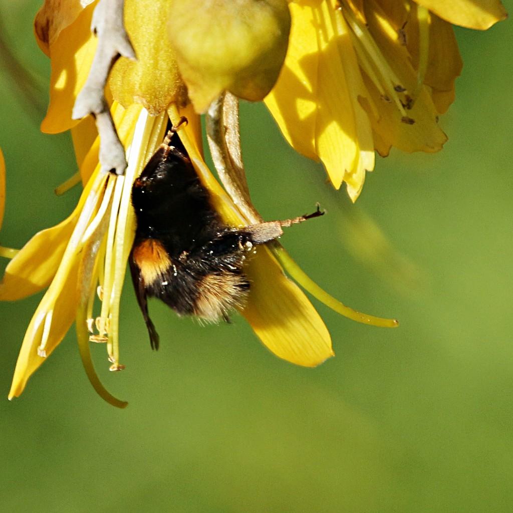 Persistent Bumble bee  by kiwinanna