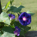 Purple Morning Glory by randystreat