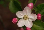 1st Oct 2017 - Apple blossom