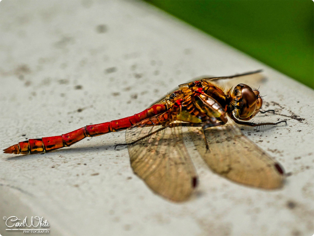 Red Darter Dragonfly by carolmw