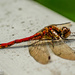 Red Darter Dragonfly by carolmw