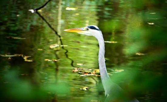 Shy Heron by carole_sandford