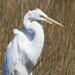 Great egret scowling by mccarth1