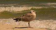 21st Sep 2017 - Herring Gull on Guard!