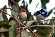2nd Oct 2017 - Mr & Mrs Blue Wren looking for our spring