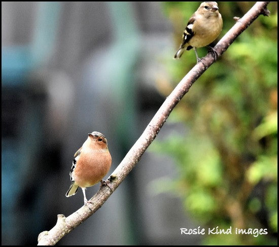 Mr & Mrs Chaffinch by rosiekind