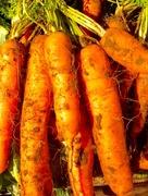 2nd Oct 2017 - Carrots