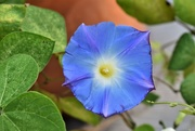28th Sep 2017 - Morning Glory