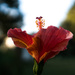 Late afternoon hibiscus by randystreat