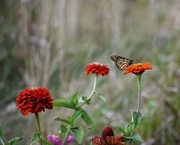 21st Sep 2017 - Zinnias at the end of summer