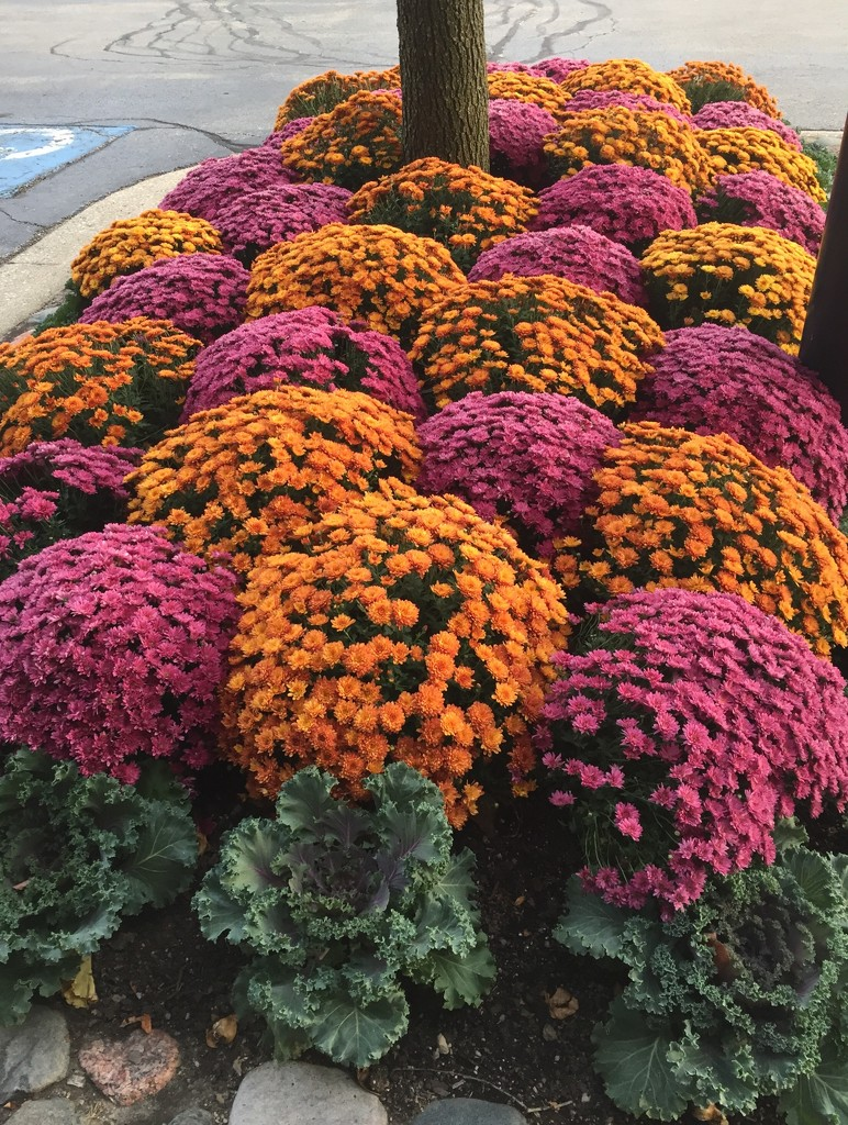 Mums are filling out  by kchuk